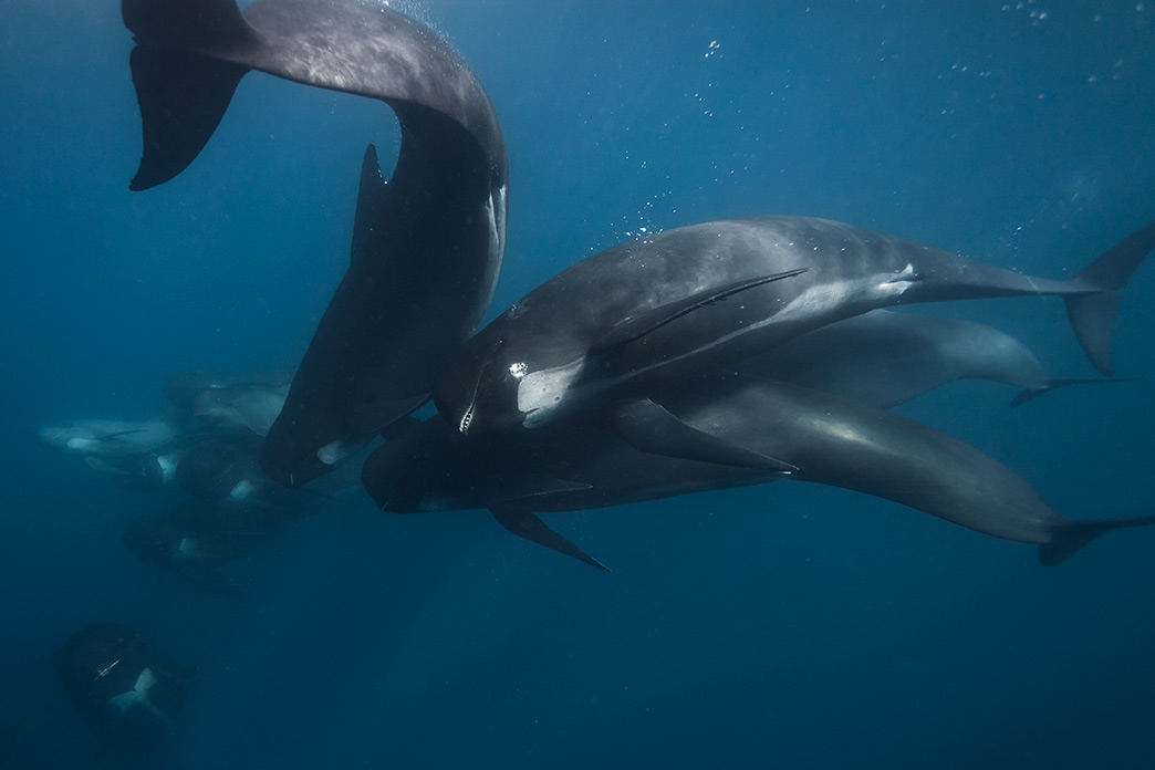 Pilot Whales, Photo by Andrew Sutton